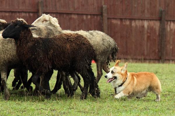 вводные породы собак назначение пастух для скота видео описание информация
